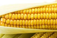 Mazorcas de maíz frescas fotos de archivo libres de regalías