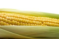 Mazorcas de maíz frescas fotografía de archivo