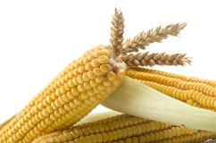 Mazorcas de maíz frescas imagenes de archivo