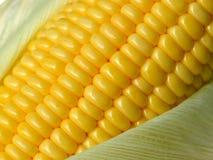 Mazorcas de maíz frescas Imágenes de archivo libres de regalías
