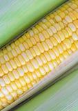 Mazorcas de maíz frescas Imagen de archivo libre de regalías