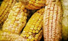 Mazorcas de maíz maduras en la caída fotos de archivo libres de regalías