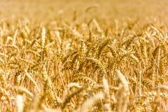 Mazorcas de maíz maduras iluminadas por el sol por el sol foto de archivo