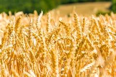 Mazorcas de maíz maduras iluminadas por el sol por el sol imagen de archivo