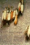 Mazorcas de maíz que cuelgan en la pared de piedra Imagenes de archivo