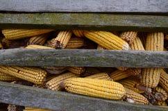 Mazorcas de maíz que se secan para el pienso Fotografía de archivo