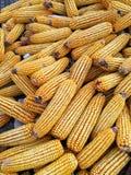 Mazorcas de maíz secadas foto de archivo