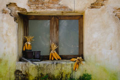 Mazorcas de maíz a secarse con el fondo de la ventana vieja Foto de archivo libre de regalías