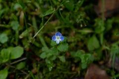 Mazus japonicus(Thunb.)O.Kuntze. La fonction de la même plante repenticaulis herbe Mazus Mazus miqueliiMakino et vert orchidée sensiblement identiques.La Stock Image