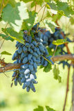 Mazzi blu dell'uva da tavola in vigna Fotografia Stock