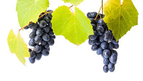 Mazzi blu dell'uva su bianco Immagini Stock