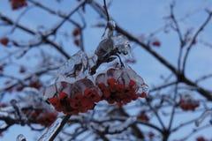 Mazzi congelati di sorba rossa Immagini Stock