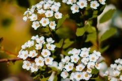 Mazzi dei fiori bianchi che fioriscono su un cespuglio fotografia stock libera da diritti