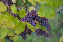 Mazzi dell'uva di Gewurztraminer, l'Alsazia, tempo del vendange, Francia Fotografia Stock