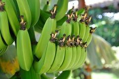 Mazzi della banana Immagine Stock