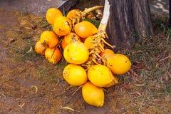Mazzi della noce di cocco di re Fotografia Stock