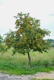 Mazzi di albero di sorba Fotografia Stock