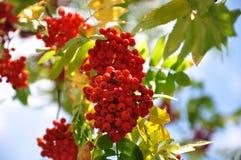 Mazzi di ashberry rosso su un ramo in autunno fotografia stock libera da diritti