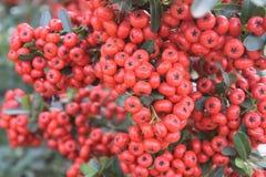 Mazzi di bacche rosse su grande Bush Fotografie Stock