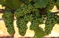 Mazzi di coltivare l'uva verde su una vigna Fotografia Stock