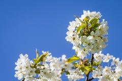 Mazzi di fiore di ciliegia Fotografie Stock Libere da Diritti