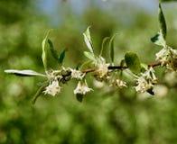Mazzi di fiori bianchi e foglie verdi del cespuglio dell'oliva di autunno Immagine Stock