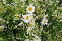 Mazzi di fiori freschi della camomilla Immagini Stock Libere da Diritti