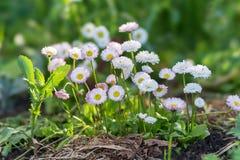 Mazzi di fioritura dei perennis bianchi e rosa del Bellis delle margherite in un letto di fiore in primavera immagini stock libere da diritti