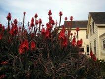 Mazzi di fioritura dell'aloe a Wilder Ranch Fotografia Stock Libera da Diritti