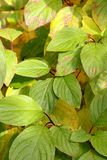 Mazzi di foglie immagine stock