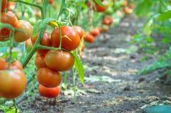 Mazzi di pomodori maturi su un letto in una serra Immagine Stock Libera da Diritti