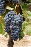 Mazzi di uva. Fotografia Stock