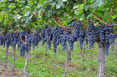 Mazzi di uva Immagini Stock