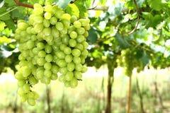 Mazzi di uva Fotografie Stock