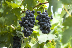 Mazzi di uva Immagine Stock Libera da Diritti