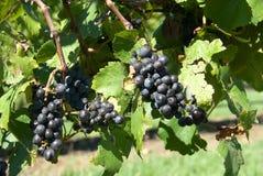 Mazzi di uva Fotografia Stock