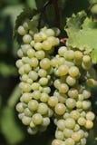 Mazzi di uva bianca Fotografia Stock Libera da Diritti