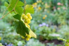 Mazzi di uva bianca che appende nella vigna contro al fondo verde e giallo durante il tramonto fotografia stock libera da diritti