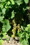 Mazzi di uva bianca con le foglie Immagine Stock Libera da Diritti
