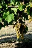 Mazzi di uva bianca con le foglie Fotografia Stock