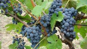 Mazzi di uva blu Fotografie Stock Libere da Diritti