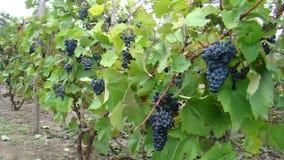 Mazzi di uva blu Fotografia Stock Libera da Diritti