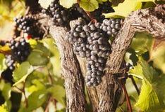 Mazzi di uva blu che appende nella vite. Fotografia Stock