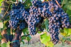 Mazzi di uva del vino rosso Fotografie Stock