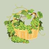 Mazzi di uva fresca nel canestro isolato sul backgrou beige Fotografia Stock Libera da Diritti