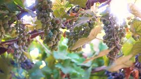 Mazzi di uva matura contro lo sfondo del sole archivi video