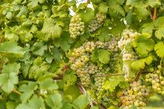 Mazzi di uva non matura Immagini Stock