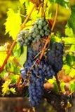 Mazzi di uva rossa che matura sulla vite, fotografati con Th Fotografia Stock