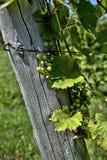 Mazzi di uva su un palo Fotografia Stock