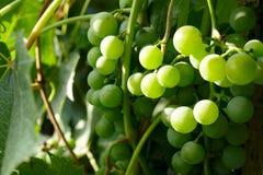 Mazzi di uva verde Immagini Stock